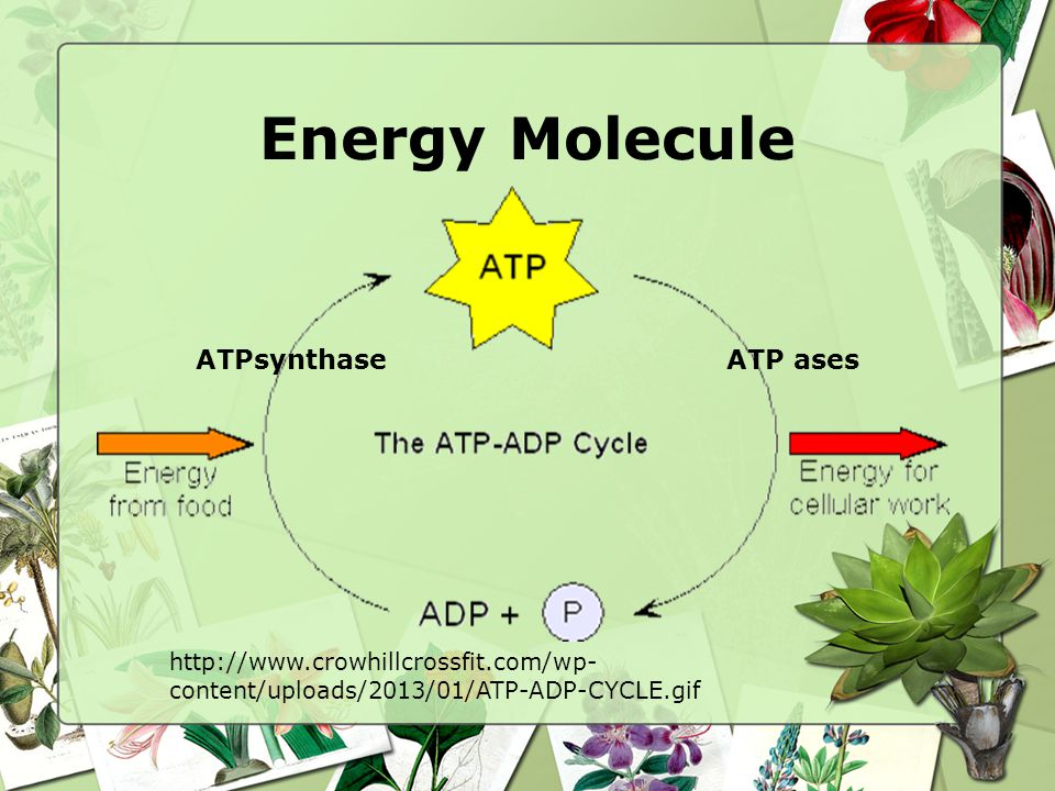 Energy Molecule http://www.crowhillcrossfit.com/wp- content/uploads/2013/01/ATP-ADP-CYCLE.gif ATPsynthaseATP ases