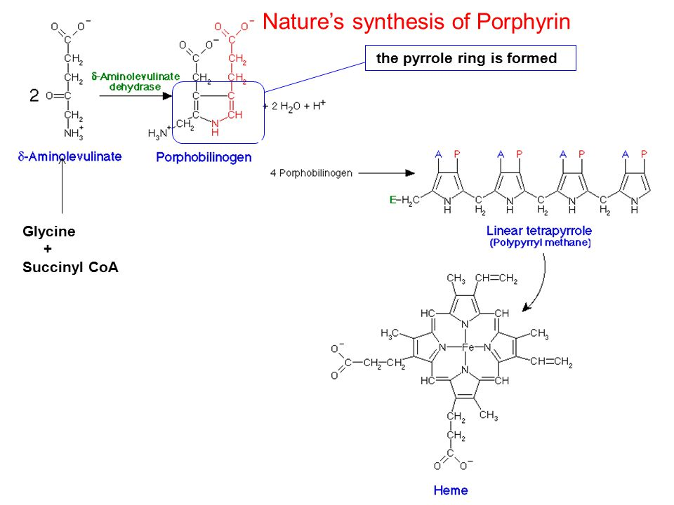 Protoporphyrin IX Glycine + Succinyl CoA the pyrrole ring is formed Nature's synthesis of Porphyrin