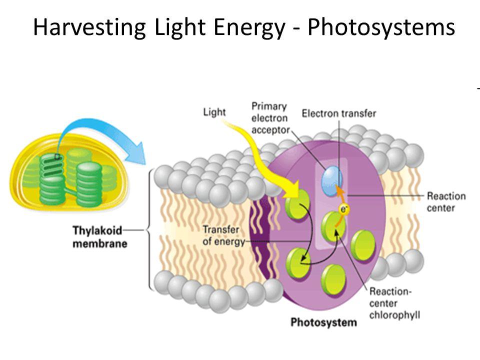 Harvesting Light Energy - Photosystems