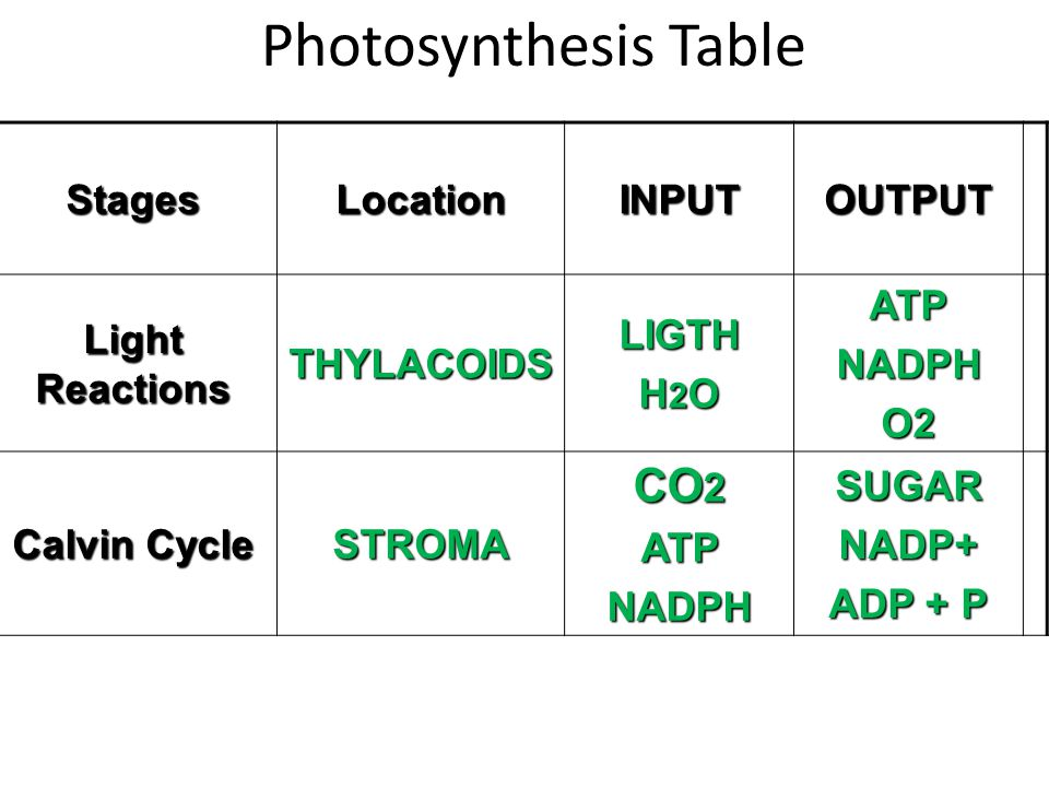 Photosynthesis TableStagesLocationINPUTOUTPUT Light Reactions THYLACOIDSLIGTH H 2 O ATPNADPHO2 Calvin Cycle STROMA CO 2 ATPNADPHSUGARNADP+ ADP + P