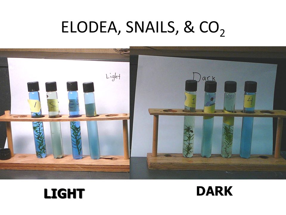 ELODEA, SNAILS, & CO 2 LIGHT DARK
