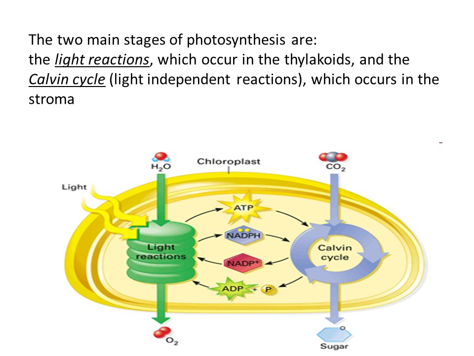 The two main stages of photosynthesis are: the light reactions, which occur in the thylakoids, and the Calvin cycle (light independent reactions), whi