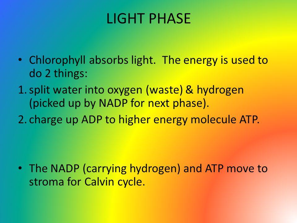 LIGHT PHASE Chlorophyll absorbs light.
