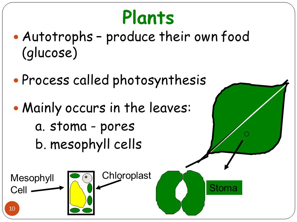 Plants 10 Autotrophs – produce their own food (glucose) Process called photosynthesis Mainly occurs in the leaves: a.stoma - pores b.mesophyll cells S