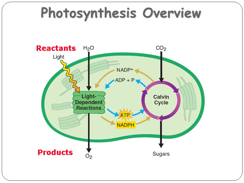 Photosynthesis Overview 20