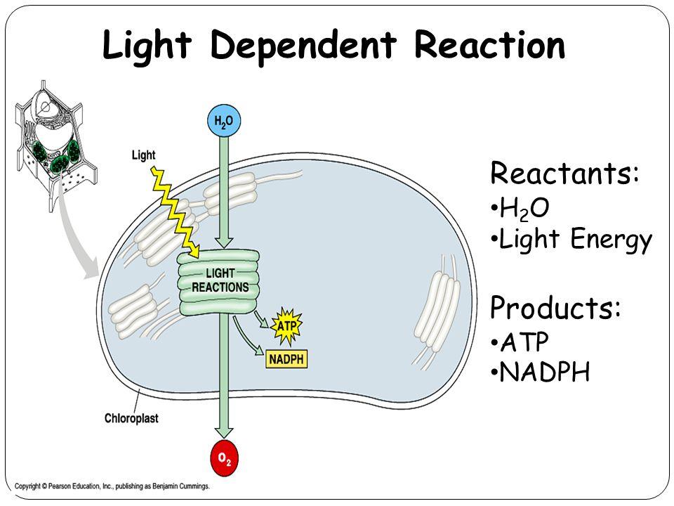 Light Dependent Reaction 21 Reactants: H 2 O Light Energy Products: ATP NADPH