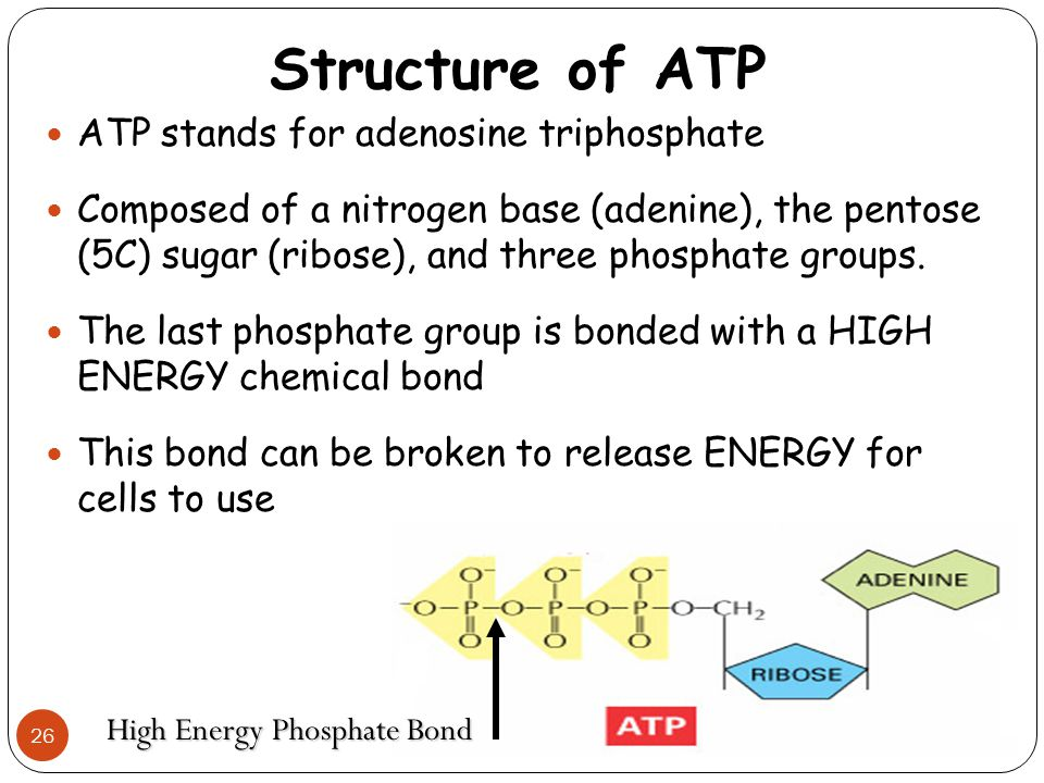 Structure of ATP 26 ATP stands for adenosine triphosphate Composed of a nitrogen base (adenine), the pentose (5C) sugar (ribose), and three phosphate