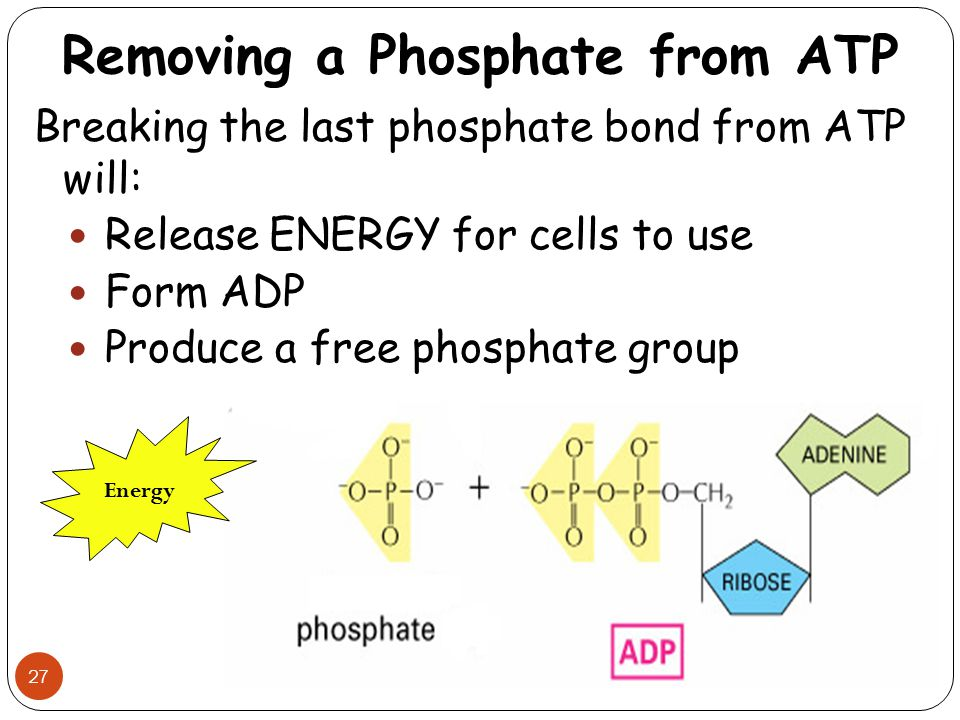 Removing a Phosphate from ATP 27 Breaking the last phosphate bond from ATP will: Release ENERGY for cells to use Form ADP Produce a free phosphate gro