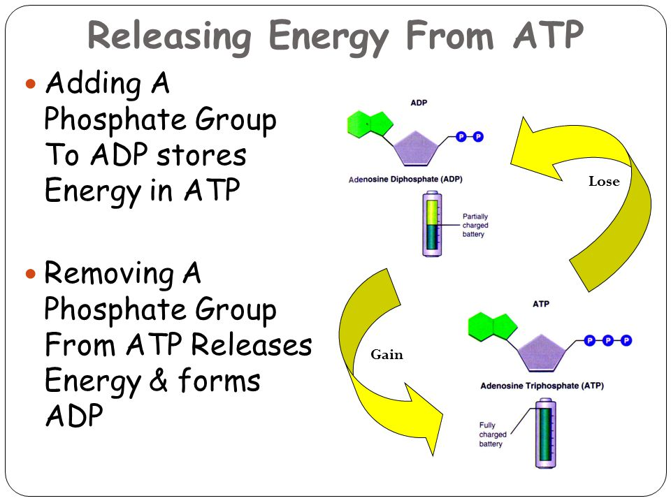 Releasing Energy From ATP 29 Adding A Phosphate Group To ADP stores Energy in ATP Removing A Phosphate Group From ATP Releases Energy & forms ADP Lose