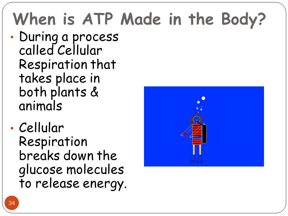 When is ATP Made in the Body? During a process called Cellular Respiration that takes place in both plants & animals Cellular Respiration breaks down