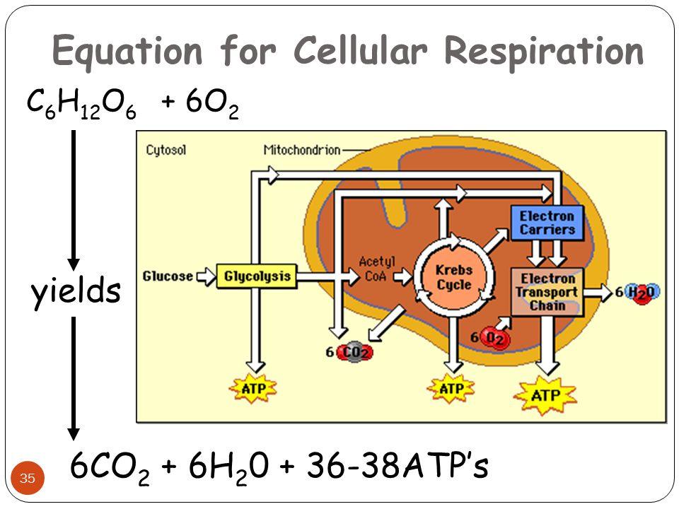 Equation for Cellular Respiration 6CO 2 + 6H 2 0 + 36-38ATP's C 6 H 12 O 6 + 6O 2 yields 35