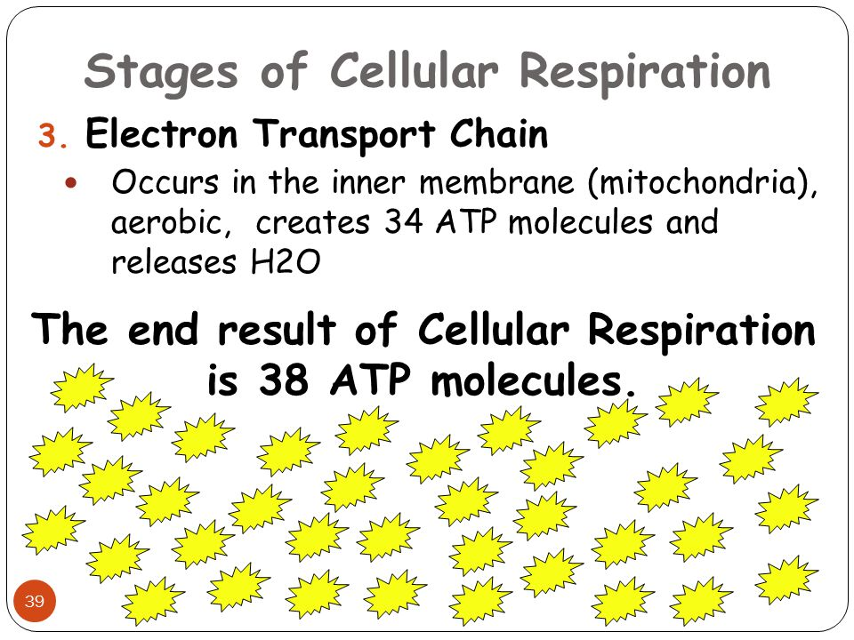 Stages of Cellular Respiration 39 3. Electron Transport Chain Occurs in the inner membrane (mitochondria), aerobic, creates 34 ATP molecules and relea