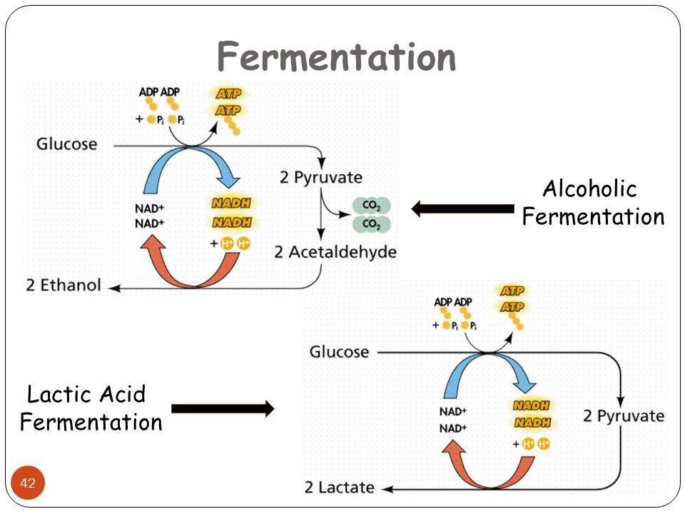 Fermentation 42 Alcoholic Fermentation Lactic Acid Fermentation