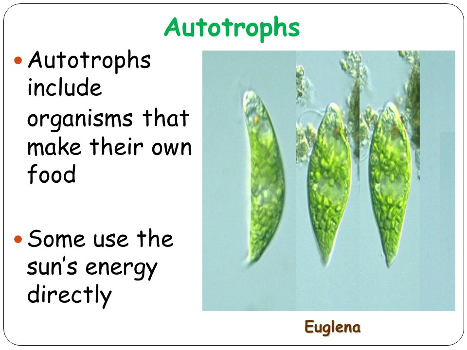 Autotrophs 7 Autotrophs include organisms that make their own food Some use the sun's energy directly Euglena