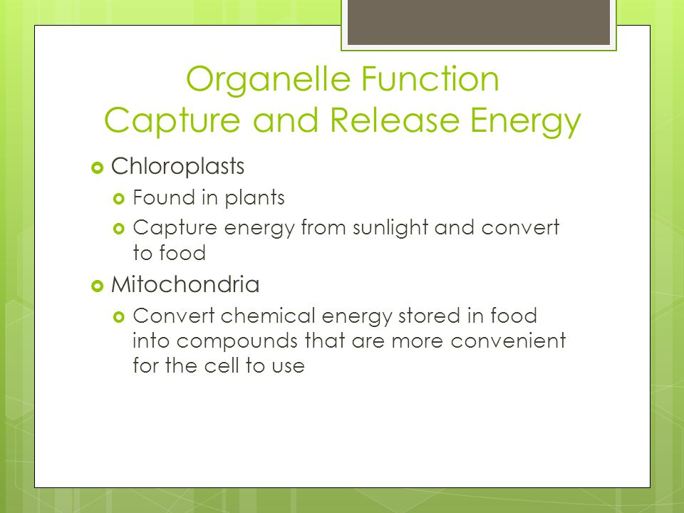 Organelle Function Capture and Release Energy  Chloroplasts  Found in plants  Capture energy from sunlight and convert to food  Mitochondria  Con