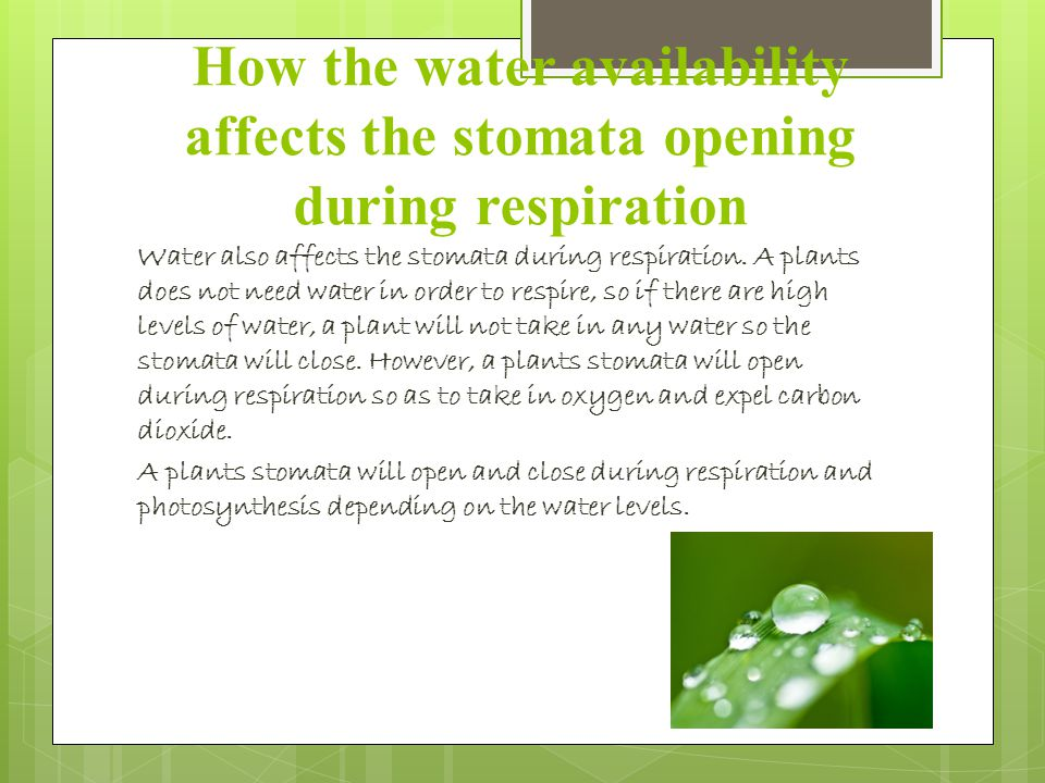 How the water availability affects the stomata opening during respiration Water also affects the stomata during respiration.