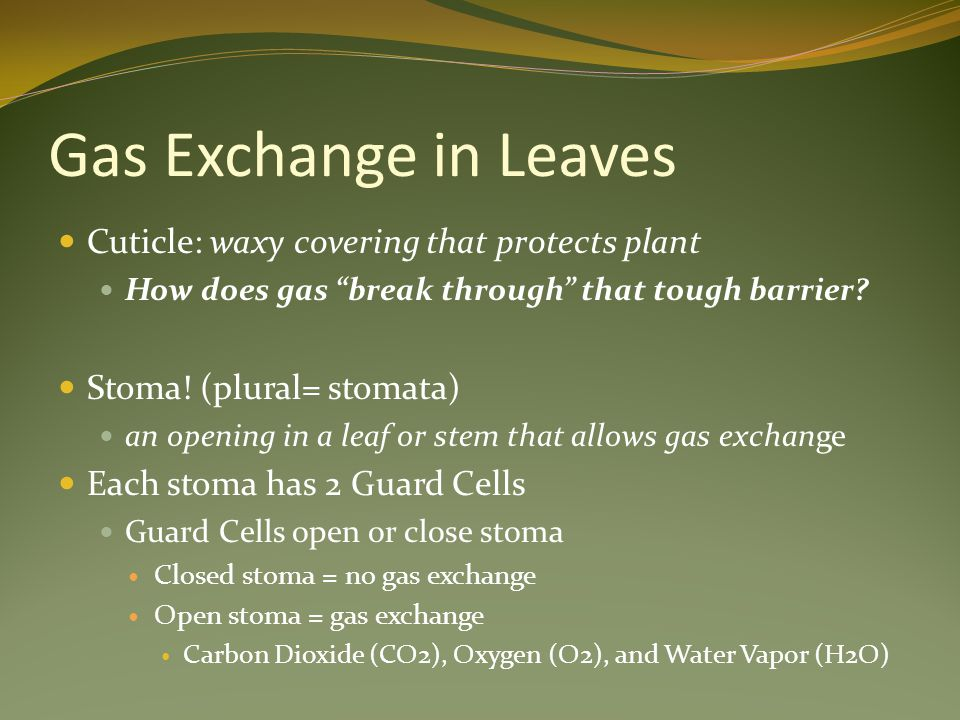 Gas Exchange in Leaves Cuticle: waxy covering that protects plant How does gas break through that tough barrier.