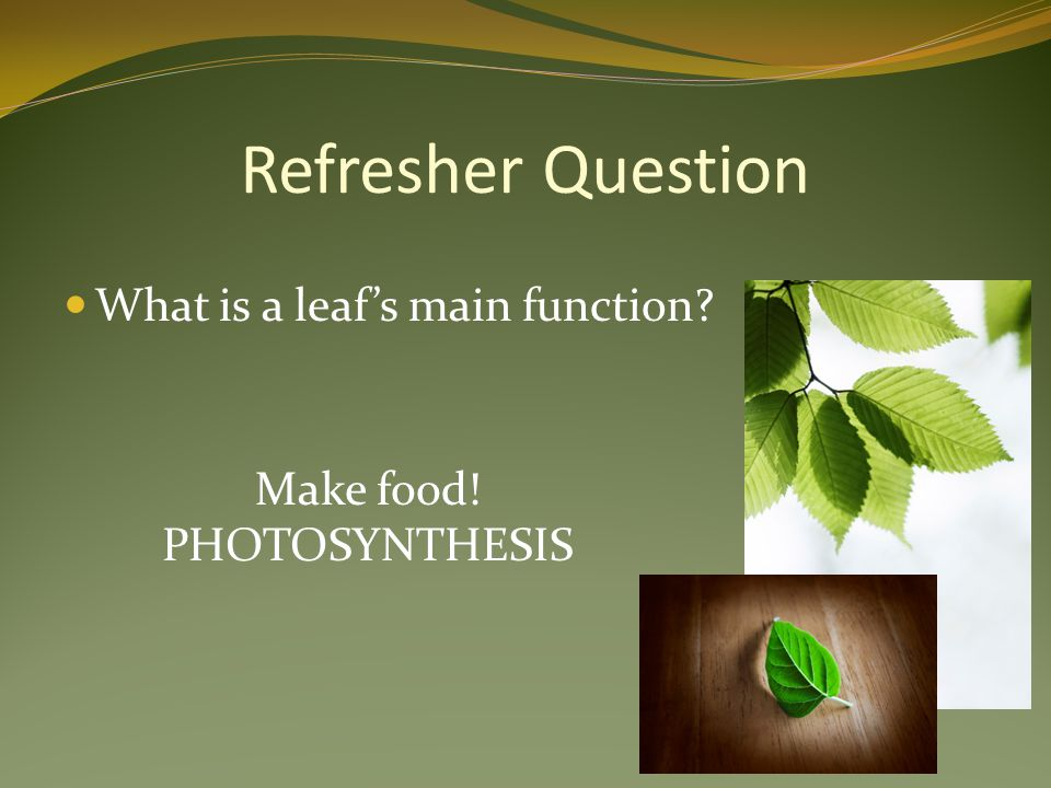 Refresher Question What is a leaf's main function? Make food! PHOTOSYNTHESIS