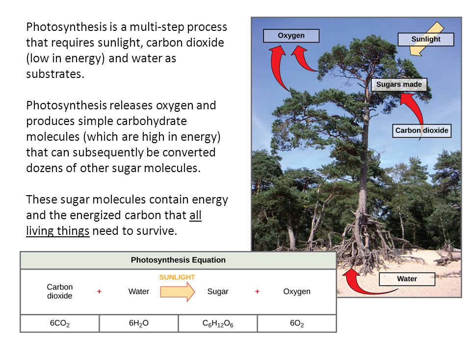 Photosynthesis is a multi-step process that requires sunlight, carbon dioxide (low in energy) and water as substrates.