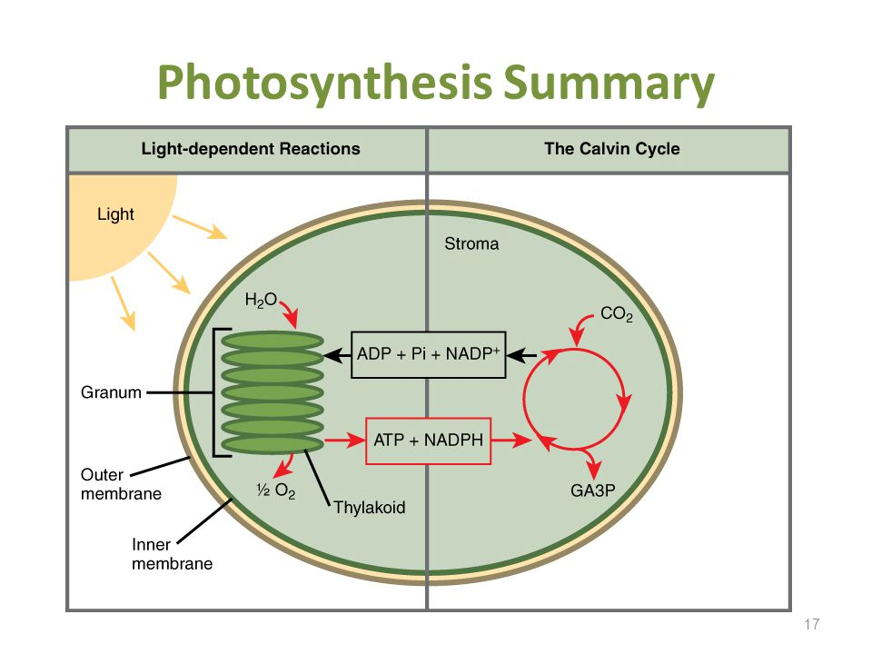 17 Photosynthesis Summary