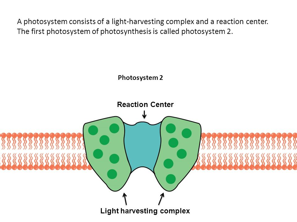 A photosystem consists of a light-harvesting complex and a reaction center.