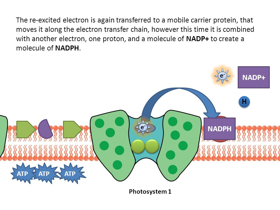 ATP The re-excited electron is again transferred to a mobile carrier protein, that moves it along the electron transfer chain, however this time it is combined with another electron, one proton, and a molecule of NADP+ to create a molecule of NADPH.