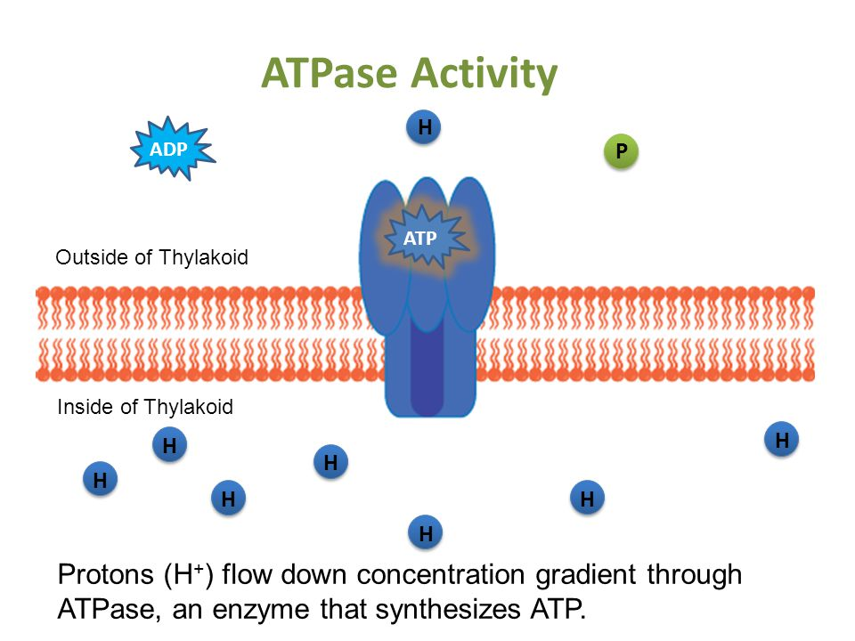 ATPase Activity H Inside of Thylakoid Outside of Thylakoid ADP Protons (H + ) flow down concentration gradient through ATPase, an enzyme that synthesizes ATP.