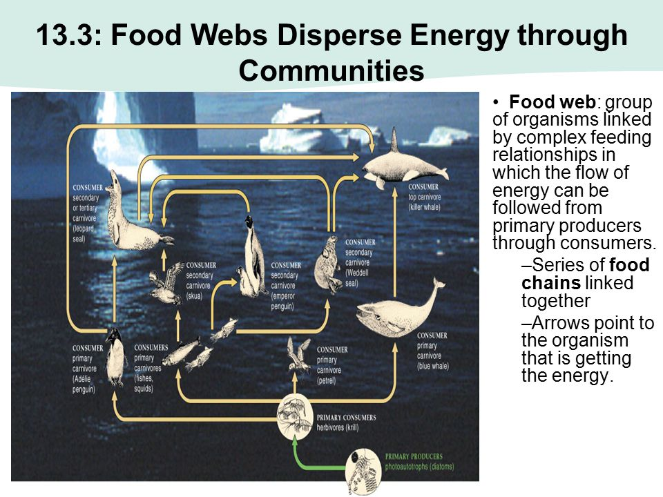 Food web: group of organisms linked by complex feeding relationships in which the flow of energy can be followed from primary producers through consum