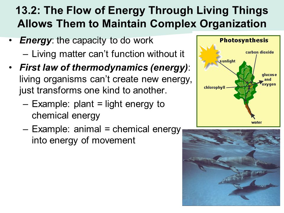 13.2: The Flow of Energy Through Living Things Allows Them to Maintain Complex Organization Energy: the capacity to do work –Living matter can't funct