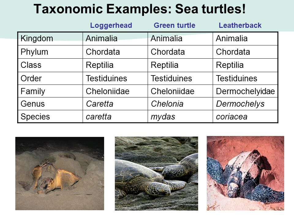 Taxonomic Examples: Sea turtles! KingdomAnimalia PhylumChordata ClassReptilia OrderTestiduines FamilyCheloniidae Dermochelyidae GenusCarettaCheloniaDe