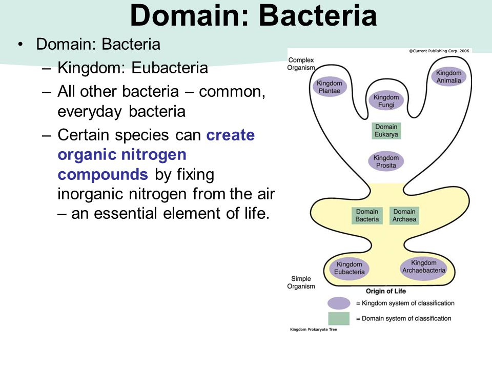 Domain: Bacteria –Kingdom: Eubacteria –All other bacteria – common, everyday bacteria –Certain species can create organic nitrogen compounds by fixing