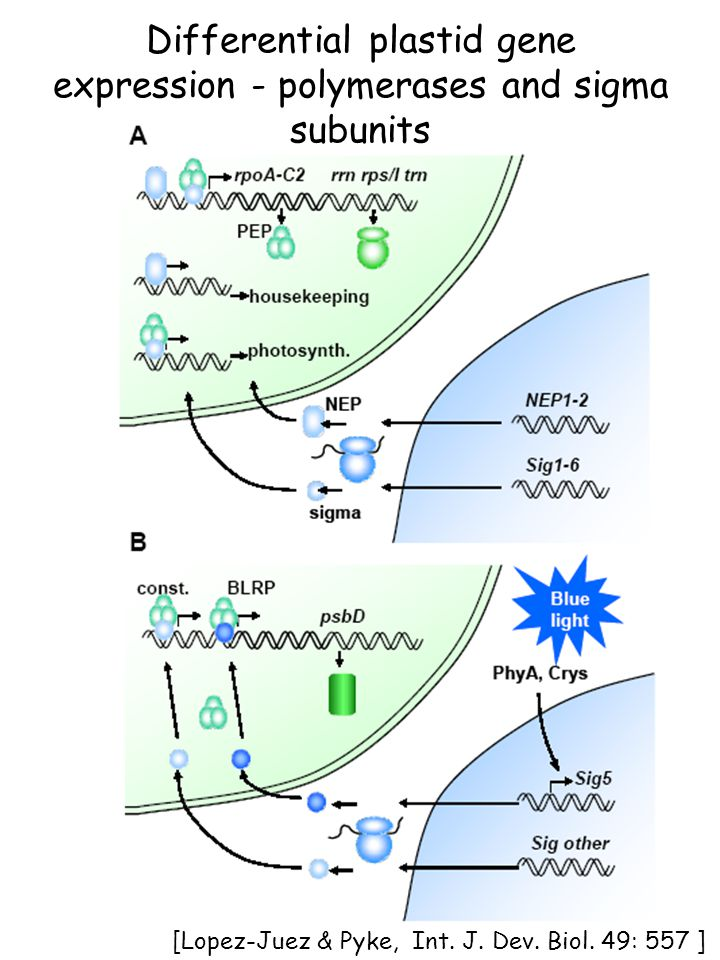 [from Lopez-Juez and Pyke Intl J Dev Biol 49:557] Differential plastid gene expression - polymerases and sigma subunits [Lopez-Juez & Pyke, Int. J. De