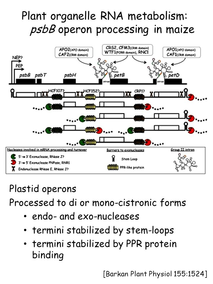 [Barkan Plant Physiol 155:1524] Plant organelle RNA metabolism: psbB operon processing in maize Plastid operons Processed to di or mono-cistronic form