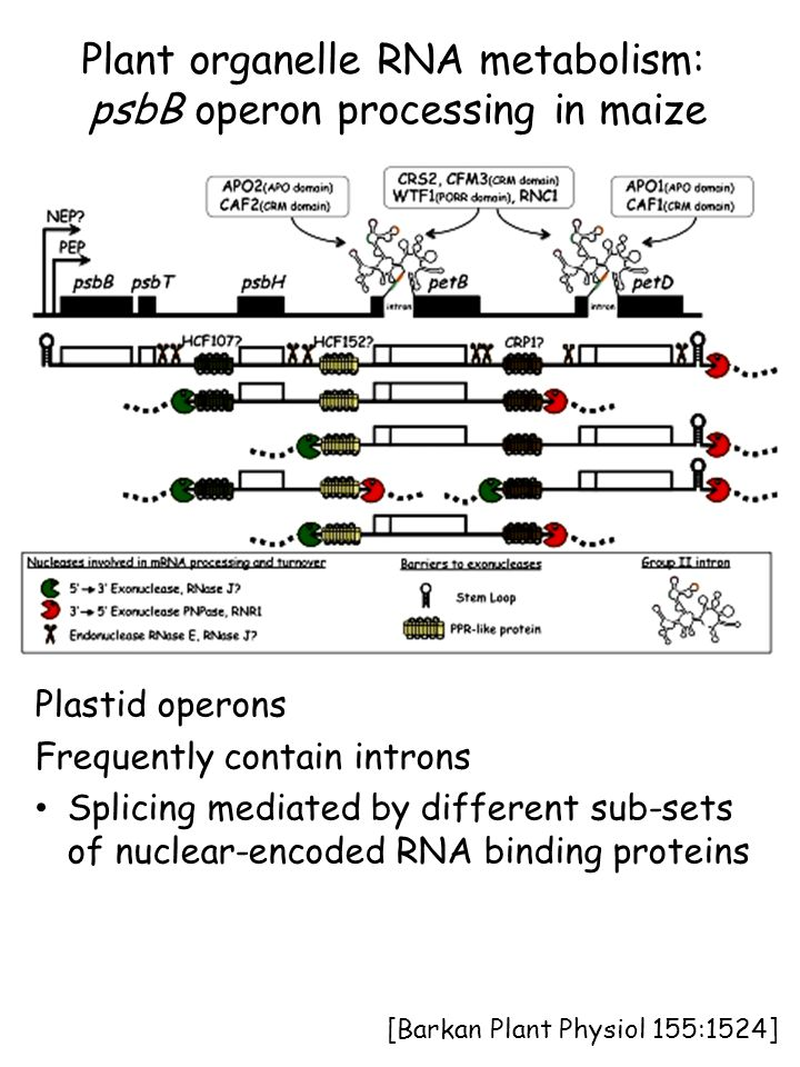 Plant organelle RNA metabolism: psbB operon processing in maize Plastid operons Frequently contain introns Splicing mediated by different sub-sets of nuclear-encoded RNA binding proteins [Barkan Plant Physiol 155:1524]