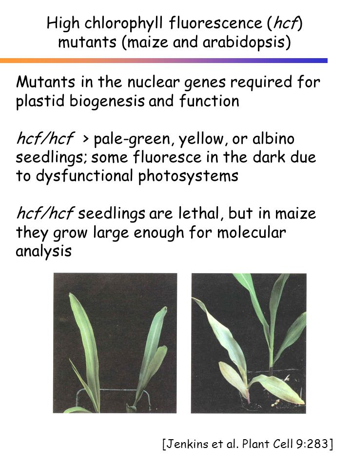 Mutants in the nuclear genes required for plastid biogenesis and function hcf/hcf > pale-green, yellow, or albino seedlings; some fluoresce in the dark due to dysfunctional photosystems hcf/hcf seedlings are lethal, but in maize they grow large enough for molecular analysis [Jenkins et al.
