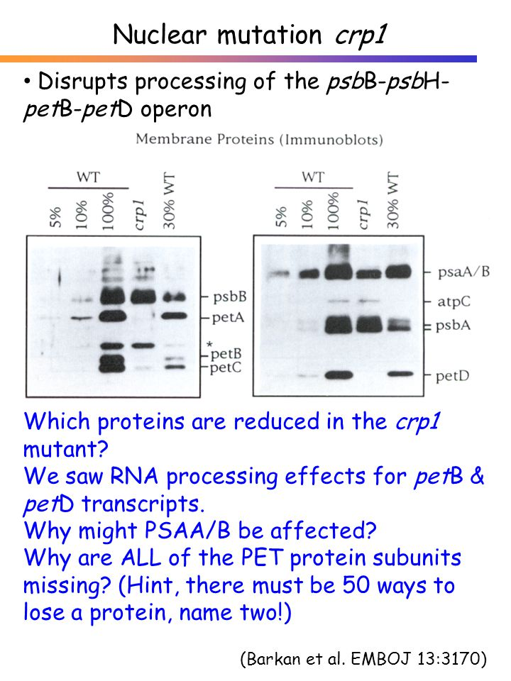 Which proteins are reduced in the crp1 mutant.