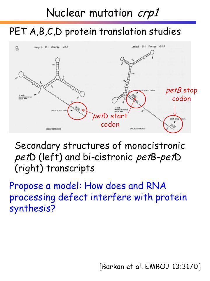 [Barkan et al. EMBOJ 13:3170] Secondary structures of monocistronic petD (left) and bi-cistronic petB-petD (right) transcripts petD start codon petB s