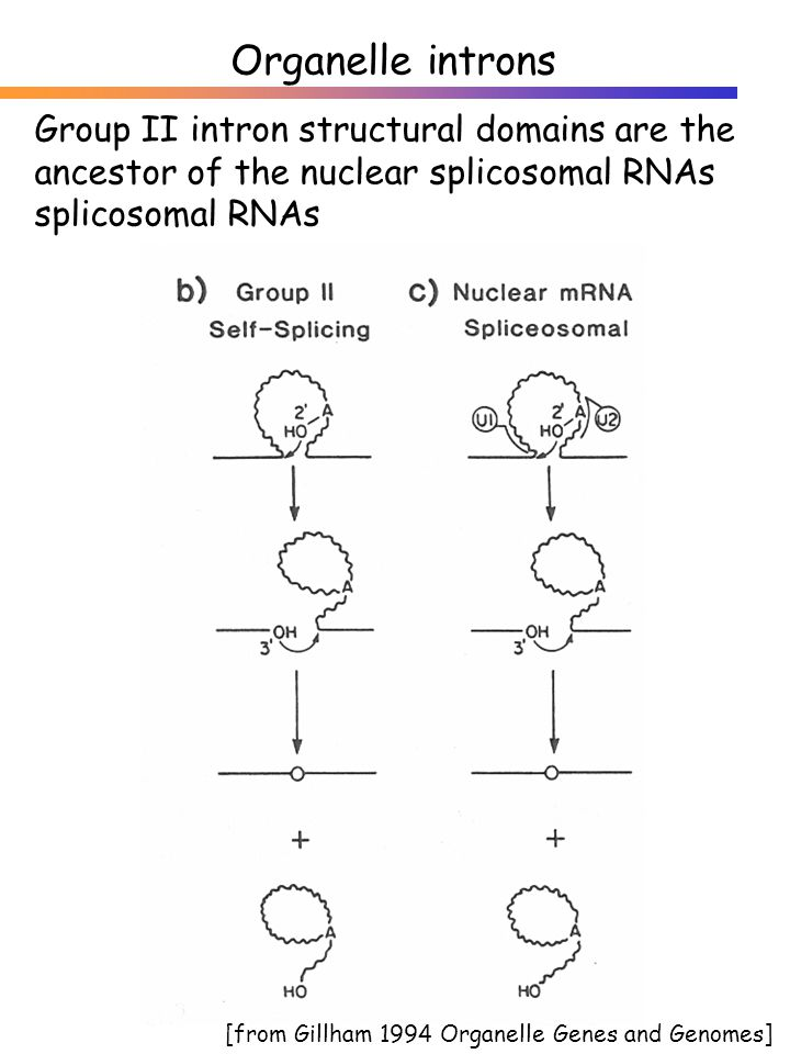 Group II intron structural domains are the ancestor of the nuclear splicosomal RNAs splicosomal RNAs Organelle introns [from Gillham 1994 Organelle Genes and Genomes]