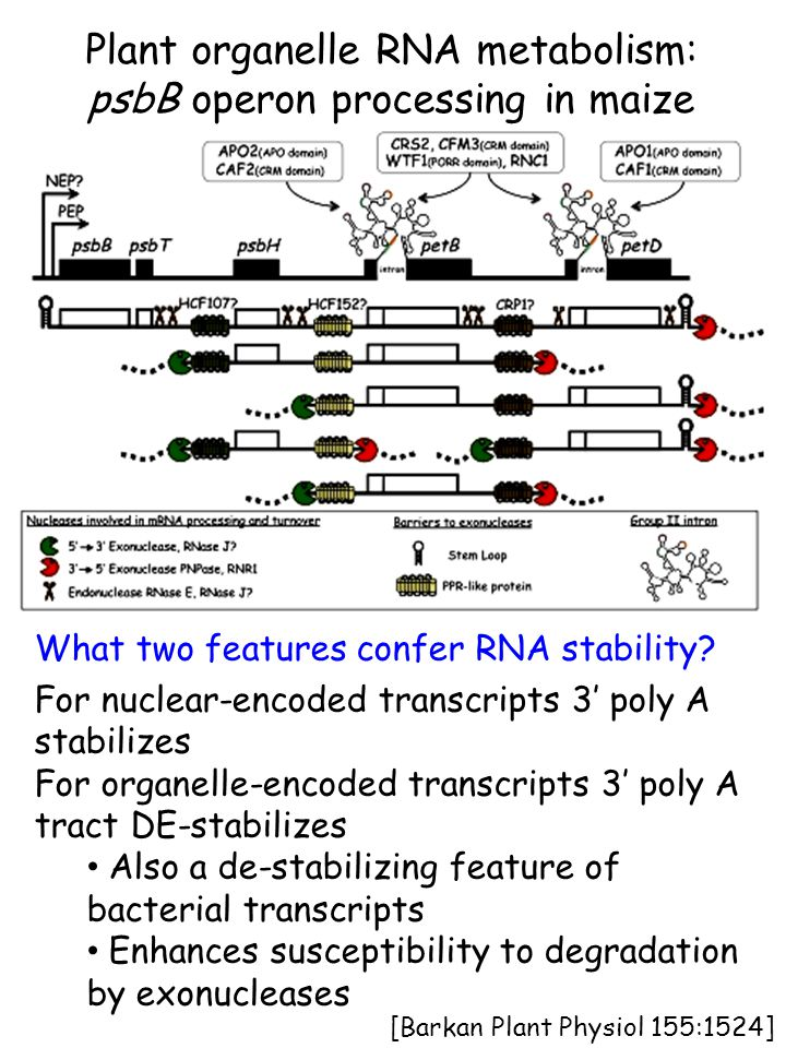 [Barkan Plant Physiol 155:1524] Plant organelle RNA metabolism: psbB operon processing in maize What two features confer RNA stability? For nuclear-en