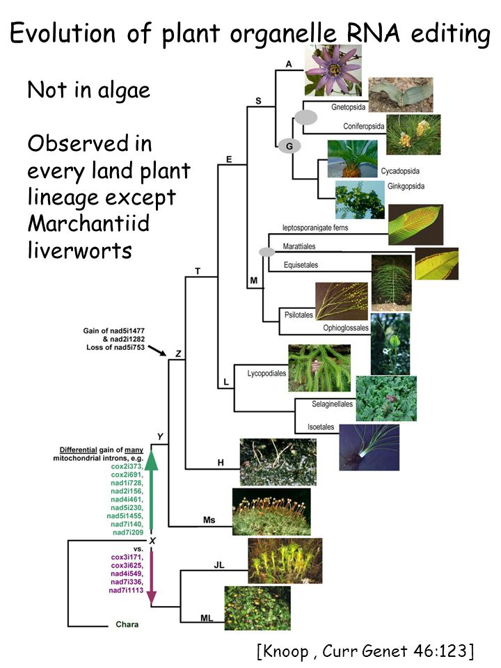 Evolution of plant organelle RNA editing Not in algae Observed in every land plant lineage except Marchantiid liverworts [Knoop, Curr Genet 46:123]