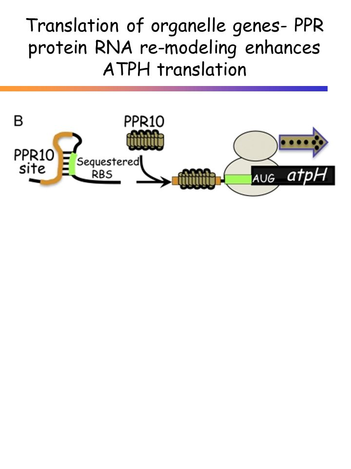 Translation of organelle genes- PPR protein RNA re-modeling enhances ATPH translation
