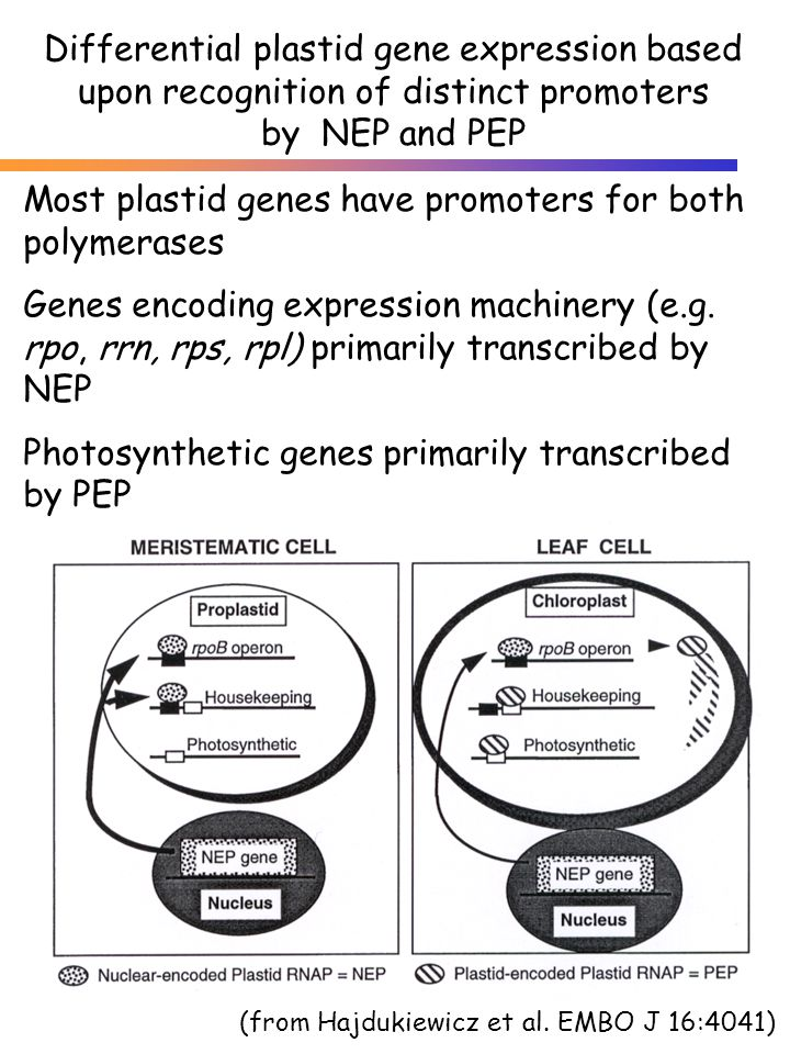 Differential plastid gene expression based upon recognition of distinct promoters by NEP and PEP (from Hajdukiewicz et al. EMBO J 16:4041) Most plasti