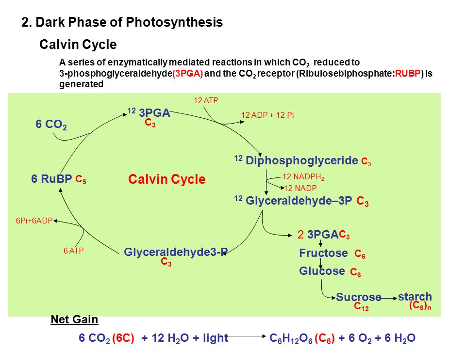 2. Dark Phase of Photosynthesis Calvin Cycle 12 3PGA C3C3 Calvin Cycle 6 CO 2 12 Diphosphoglyceride C 3 12 Glyceraldehyde–3P C 3 6 RuBP C5C5 Glycerald