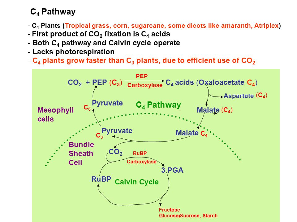 C 4 Pathway - C 4 Plants (Tropical grass, corn, sugarcane, some dicots like amaranth, Atriplex) - First product of CO 2 fixation is C 4 acids - Both C 4 pathway and Calvin cycle operate - Lacks photorespiration - C 4 plants grow faster than C 3 plants, due to efficient use of CO 2 CO 2 + PEP (C 3 )C 4 acids (Oxaloacetate C 4 ) PEP Carboxylase C 4 Pathway Aspartate (C 4 ) Malate (C 4 ) Malate C 4 Pyruvate C3C3 C3C3 CO 2 3 PGA RuBP Fructose Glucose,Sucrose, Starch Bundle Sheath Cell MesophyII cells RuBP Carboxylase Calvin Cycle
