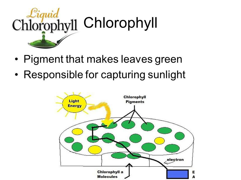 Chlorophyll Pigment that makes leaves green Responsible for capturing sunlight