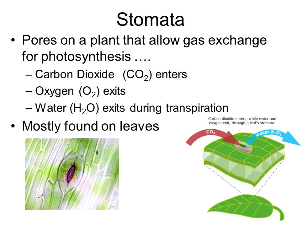 Stomata Pores on a plant that allow gas exchange for photosynthesis ….