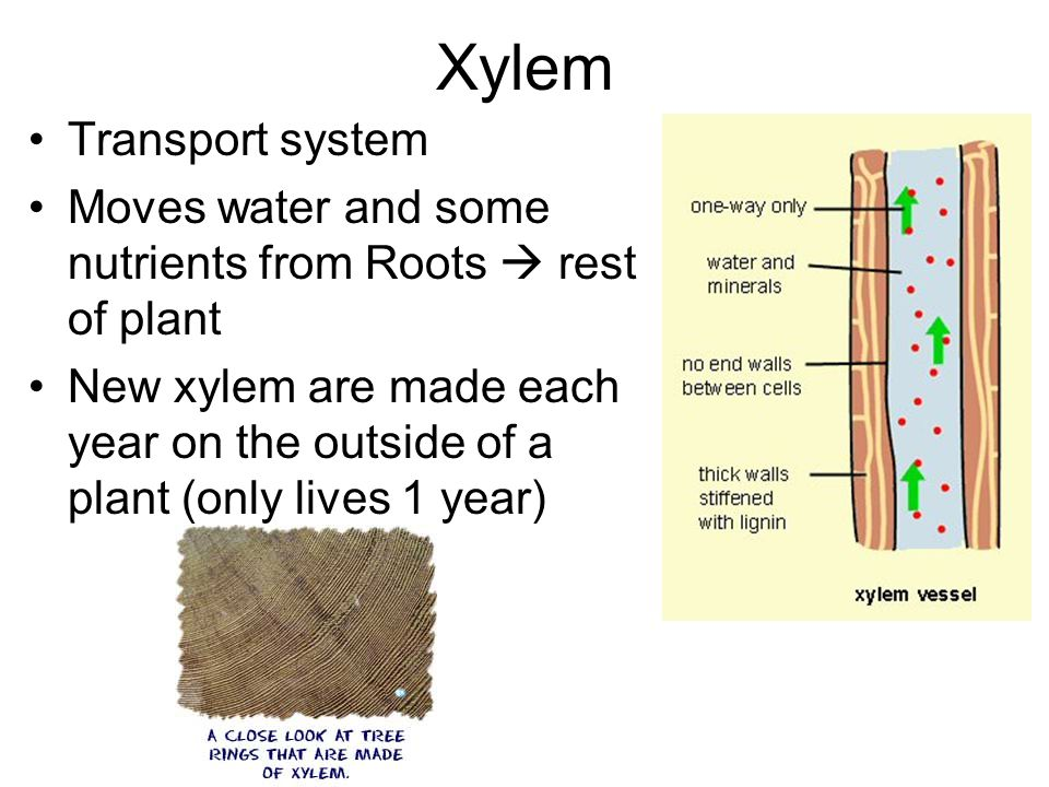 Xylem Transport system Moves water and some nutrients from Roots  rest of plant New xylem are made each year on the outside of a plant (only lives 1 year)