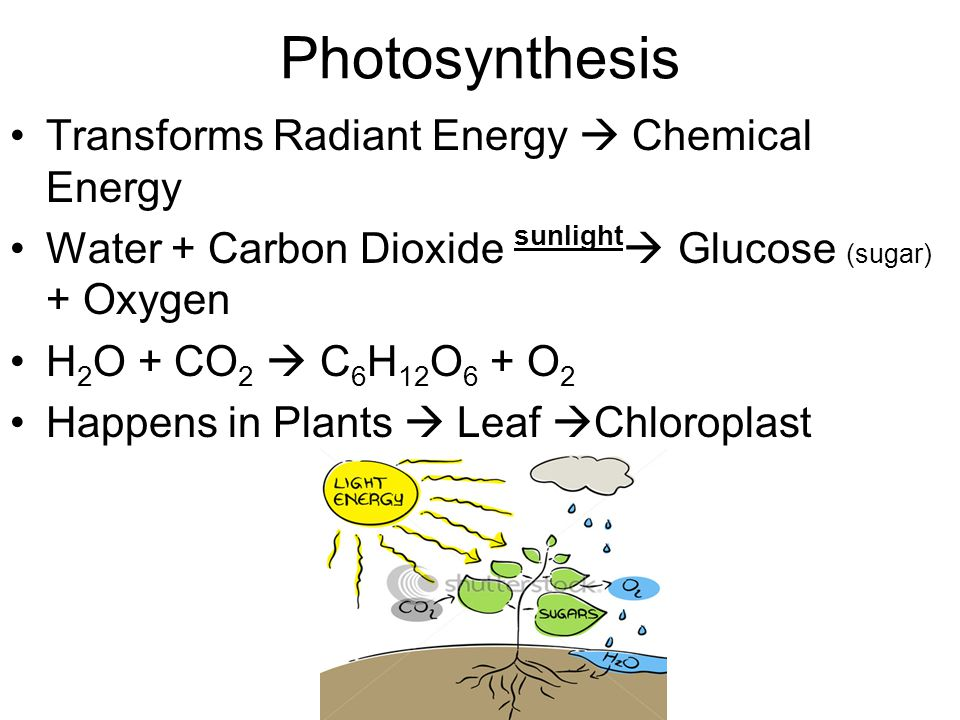 Photosynthesis Transforms Radiant Energy  Chemical Energy Water + Carbon Dioxide sunlight  Glucose (sugar) + Oxygen H 2 O + CO 2  C 6 H 12 O 6 + O 2 Happens in Plants  Leaf  Chloroplast