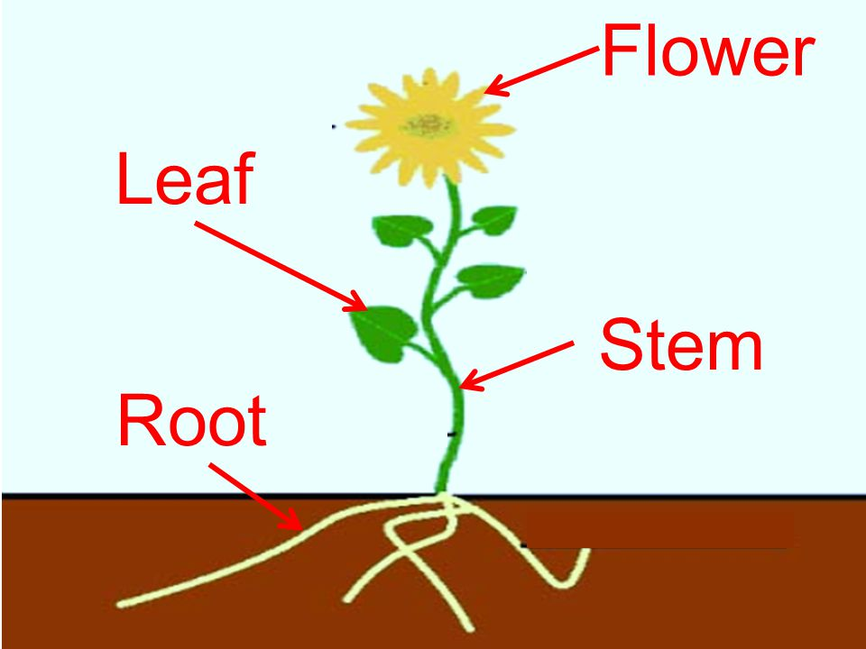 Flower Leaf Stem Root