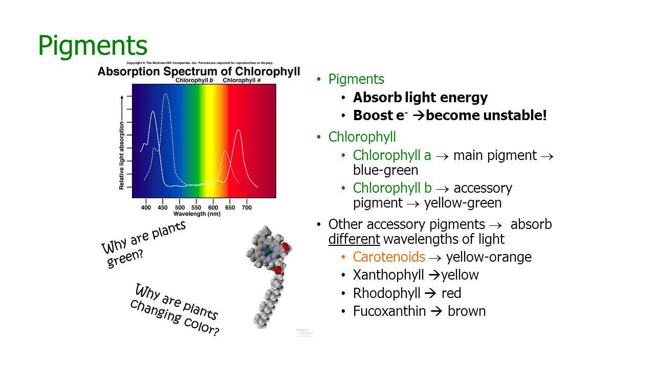 Pigments Absorb light energy Boost e -  become unstable.